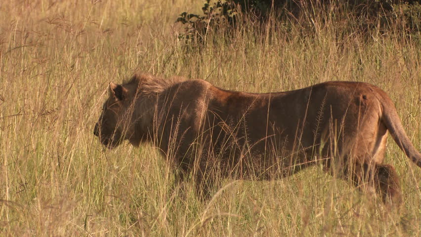 Lion lurking and attack | Shutterstock HD Video #3825311