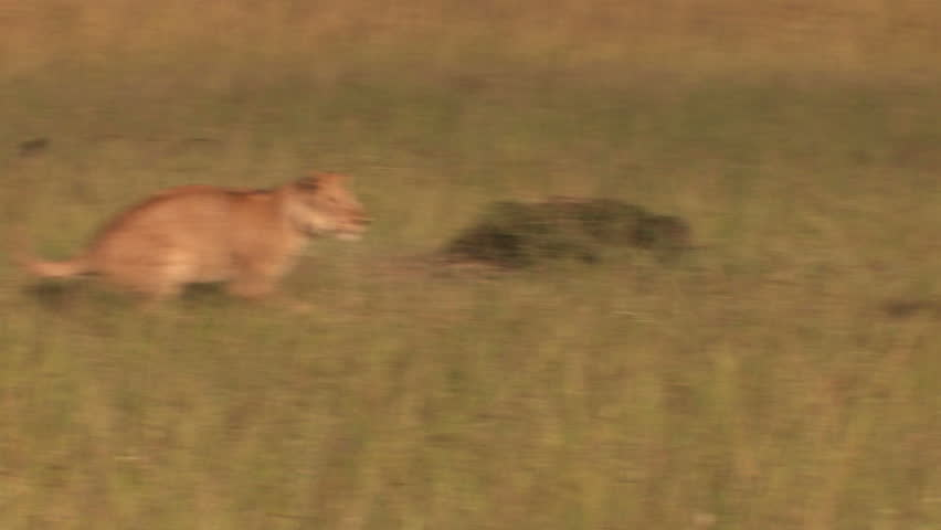 Lions in the high jump - Playing #3825344