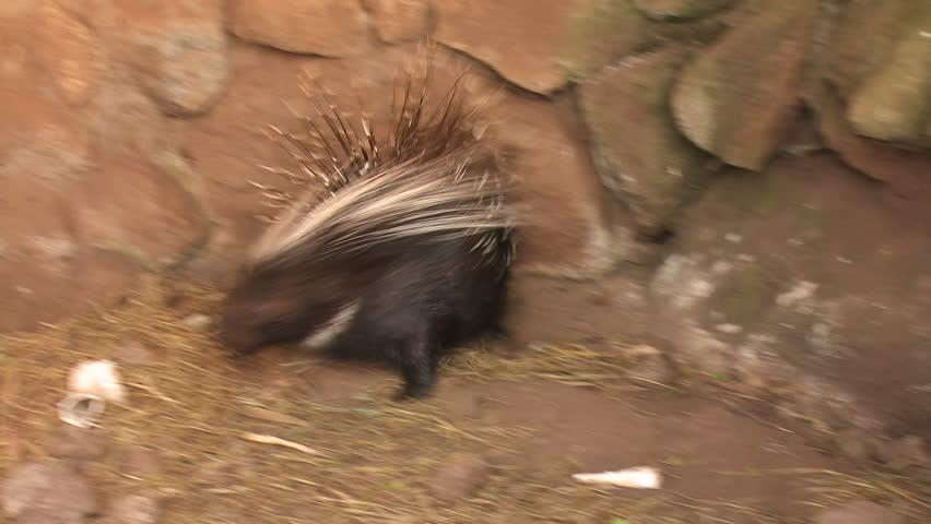 Porcupine | Shutterstock HD Video #3825644