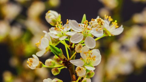 HD Macro time lapse video of a wild plum tree flower growing and blossoming on a black background/Wild plum flower blooming macro timelapse