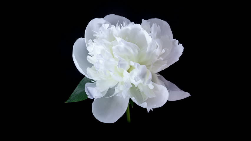 Timelapse of white peony flower blooming on black background stock timelapse of white peony flower blooming on black background stock clip 3839099 stock clips mightylinksfo
