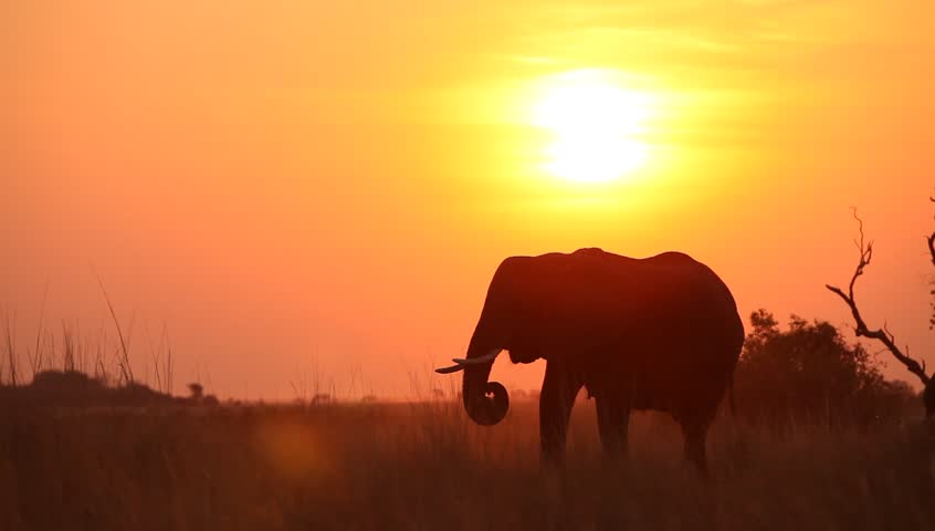 A silhouetted elephant eating at sunset