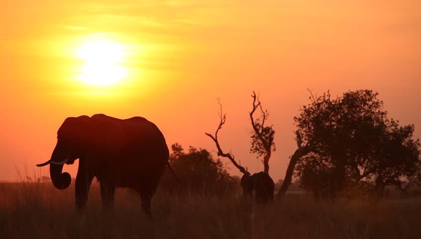 African landscape with elephant and it's calf eating in field silhouetted at