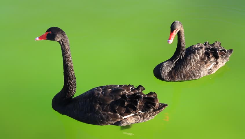 Swan couple floating on green background of the pond