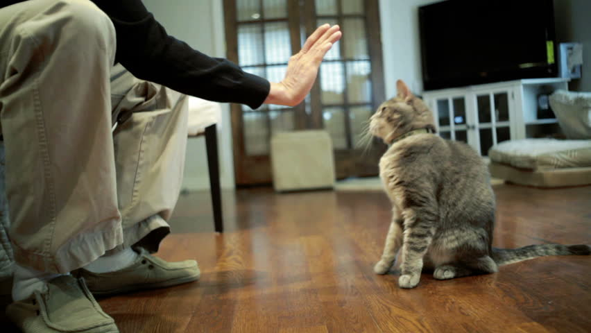 Gray cat doing tricks and giving white guy a high five Royalty-Free Stock Footage #3858875
