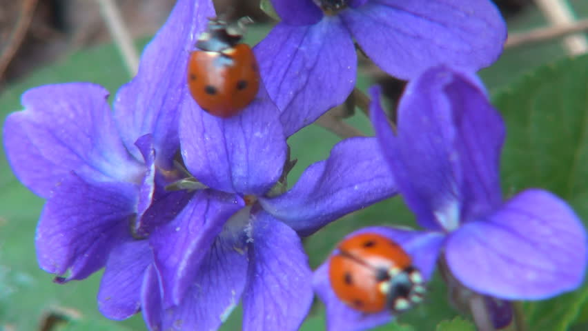 Walking Ladybugs on Violet Flowers in Spring, Viola Riviniana in Field, Meadow