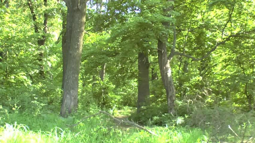 Spruce Trees Forest in Last Sunlight | Shutterstock HD Video #3882929