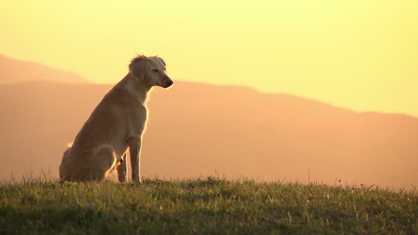 Asian Hound. Hunting dog sitting on top of a hill looking at the sunset. Slow Motion at a rate of 240 fps