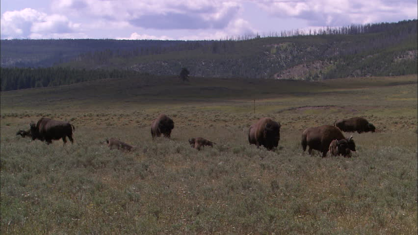 A herd of buffalo grazes in a meadow