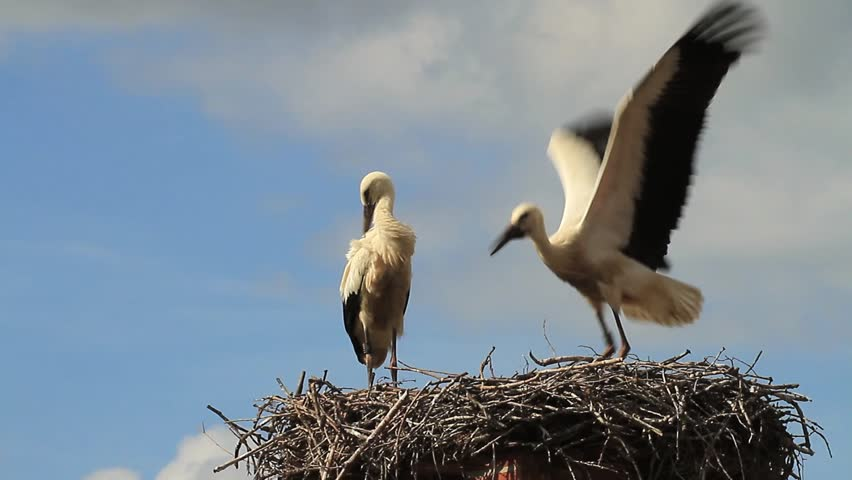 White storks learning to fly