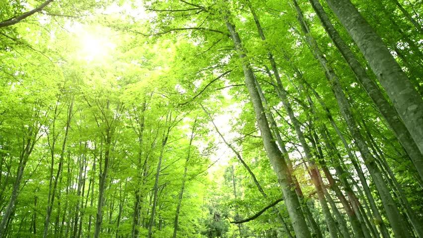 Forest of beech tree | Shutterstock HD Video #3930926