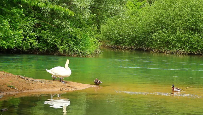 Swan family on the calm emerald river.