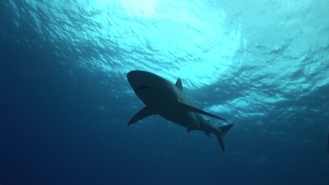 silvertip shark swimming over the camera