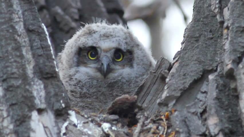 Three week old Great Horned Owl in nest, looking alert. HD 720p.