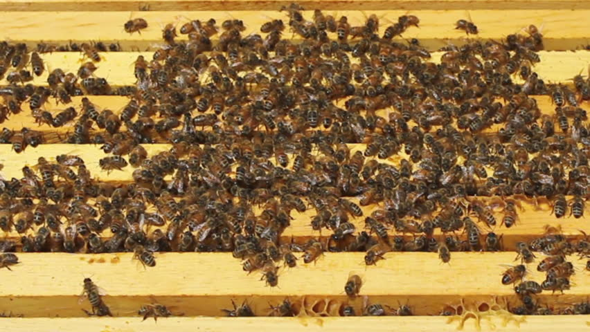 Thousands of Honey Bees on top of stacked frames in their colony at an Apiary. HD 720p.