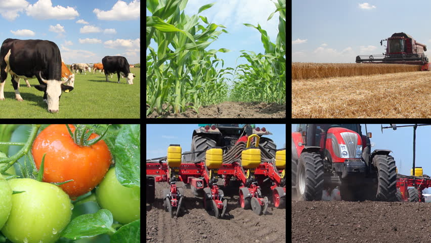 Agriculture - food production, planting corn, soybean, sunflower, harvest wheat, tractor working, tomato, farm animal, cow, pig, chicken. Split screen, several different footages in collage
