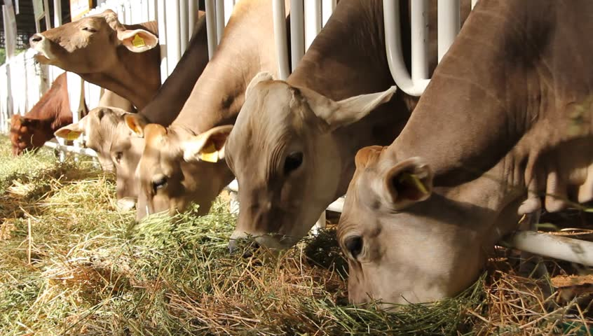 Livestock Sector Cows Eat Hay Stock Footage Video 100 Royalty Free 3970693 Shutterstock