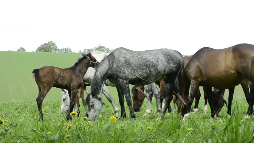 Warmblood mares and foals on meadow  | Shutterstock HD Video #3992644
