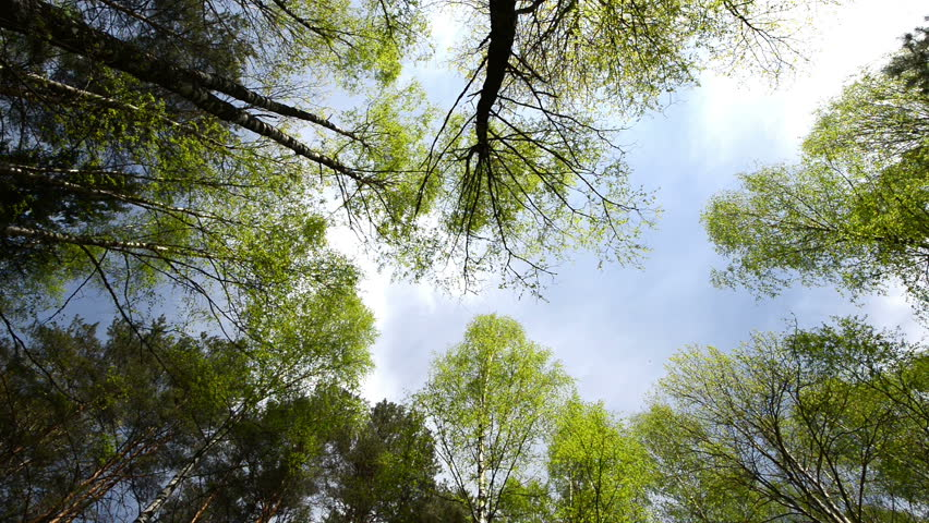 High angle view looking up at the top of the wind swinging giant hardwood trees in the pure forest | Shutterstock HD Video #3996385