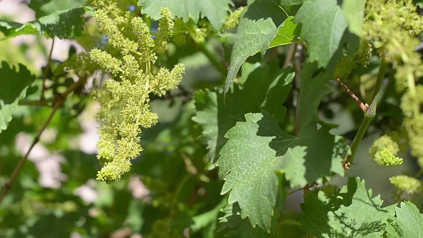 Vineyard    | Shutterstock HD Video #4008556