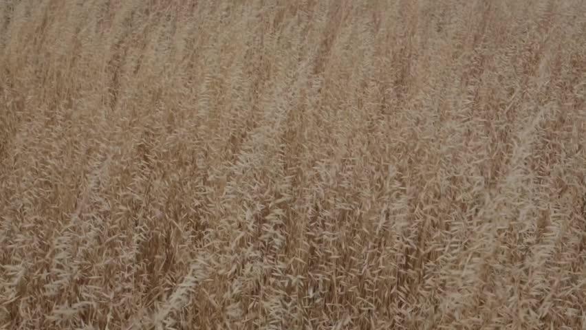 Wind blowing through a field with high grass | Shutterstock HD Video #4014871
