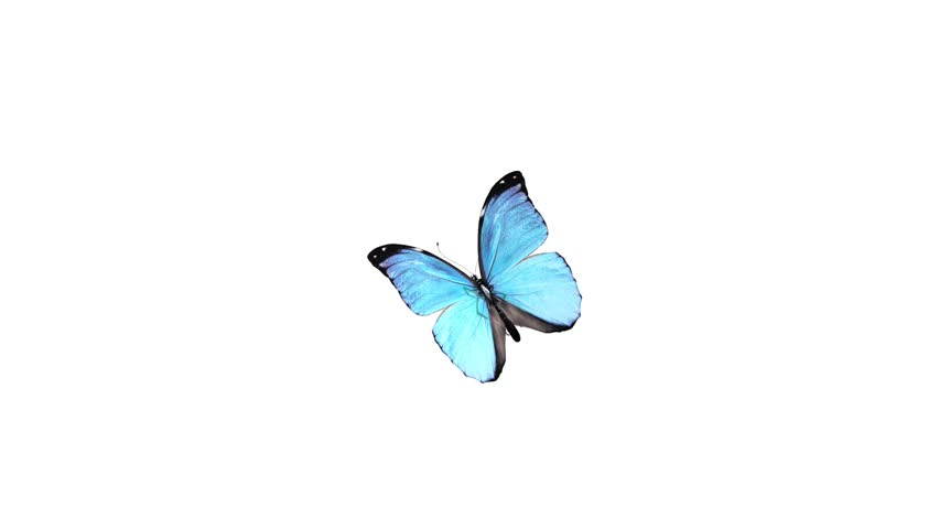 Butterfly animation. HD 1080p. Alpha channel is included.
