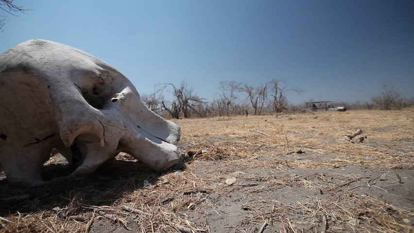 A wide shot of a Game vehicle drives past elephant skull . The vehicle is in the distance and the elephants skull is in the foreground .