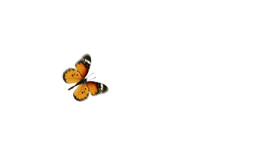 flight monarch butterfly on a white background with alpha channel