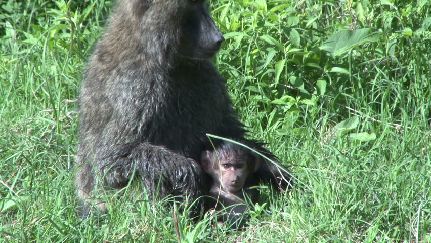 olive baboon holding a small baby tenderly