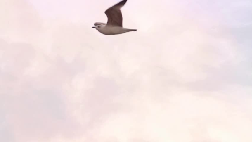 Couple of seagulls gliding on the sky. Gliding birds, Slow motion