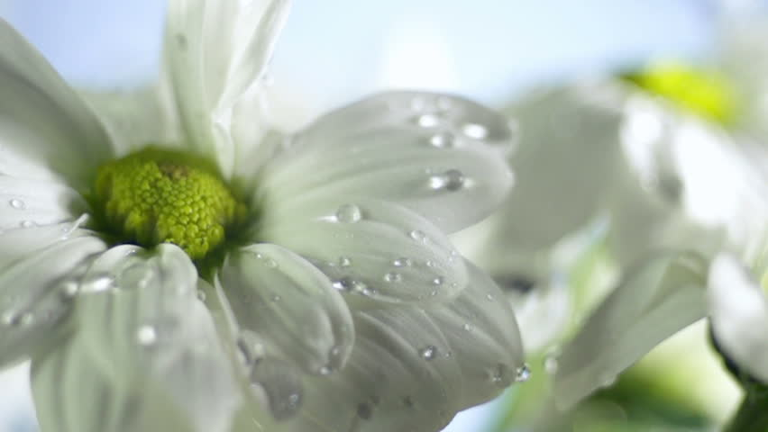 Blossom white flower under raindrops on green background