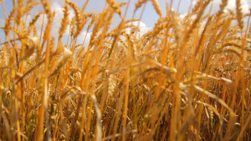 Wheat Field Caressed by Wind Crane Shot NAture Background Health Concept HD | Shutterstock HD Video #4094794