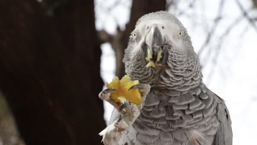 Parrot eat Fruit-close up | Shutterstock HD Video #4110832