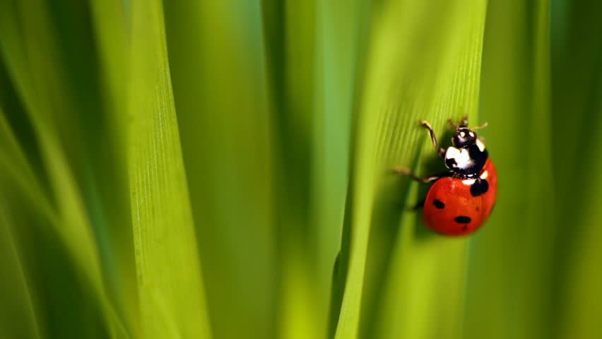 Closeup of the lady bug in the green grass