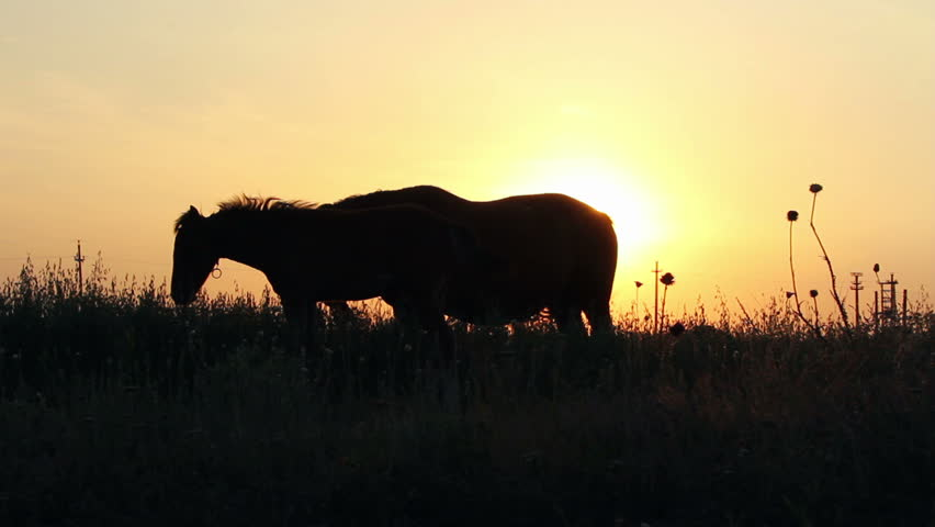 Silhouettes of horses in the field at sunset ...