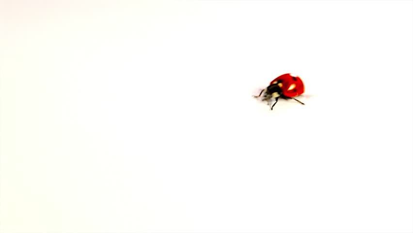 Red Ladybugs on white background