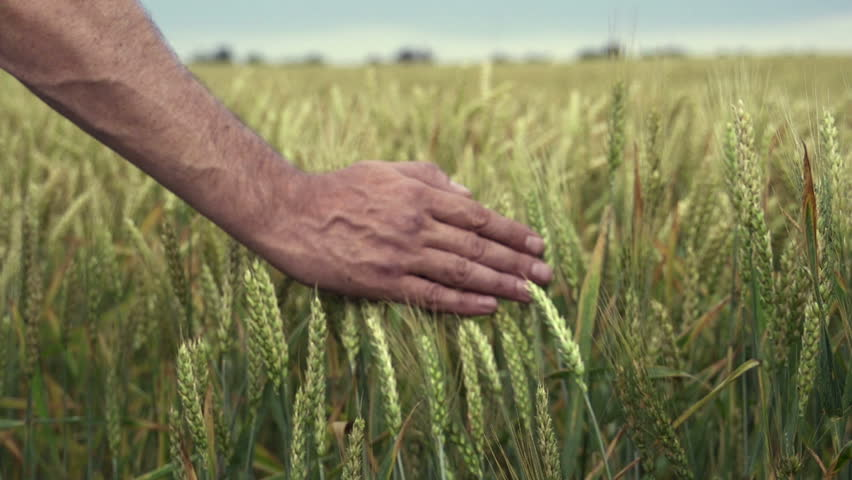 Close-up of hand running through wheat field, dolly shot | Shutterstock HD Video #4150378