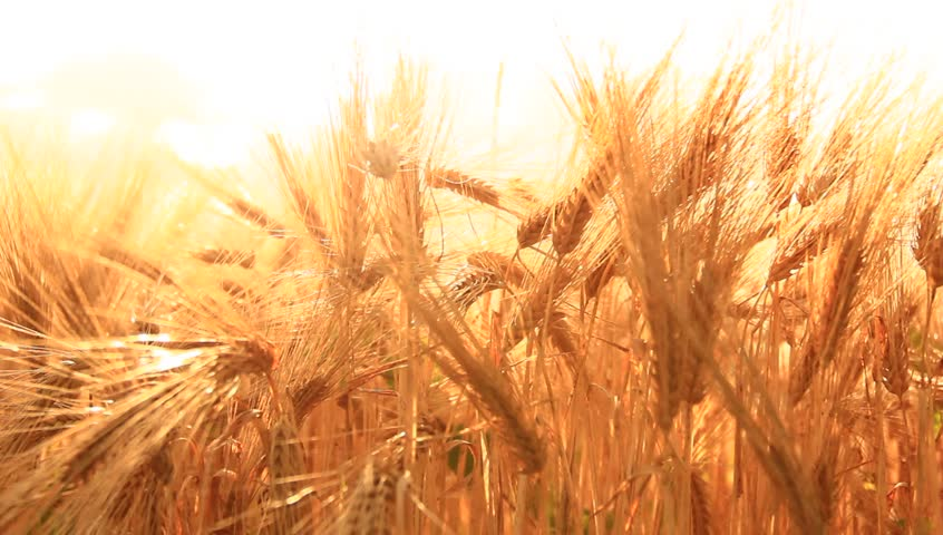 Ripe barley on the field on late summer afternoon. | Shutterstock HD Video #4175104