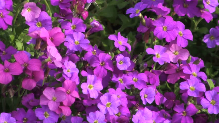 1920x1080 zoom out, burst of colorful flower field peppered with pansies.