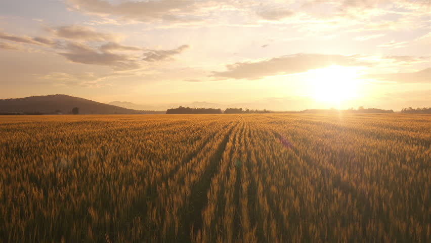 AERIAL: Flight over the wheat field in sunset #4190911