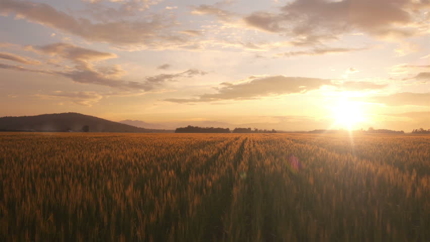 AERIAL: Flight over the wheat field in sunset   Shutterstock HD Video #4190914