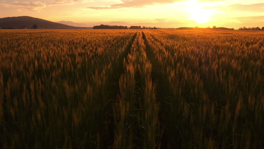 AERIAL: Flight over the wheat field in sunset   Shutterstock HD Video #4190917
