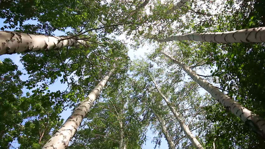 top of summer birch trees with sun shining - dolly shot