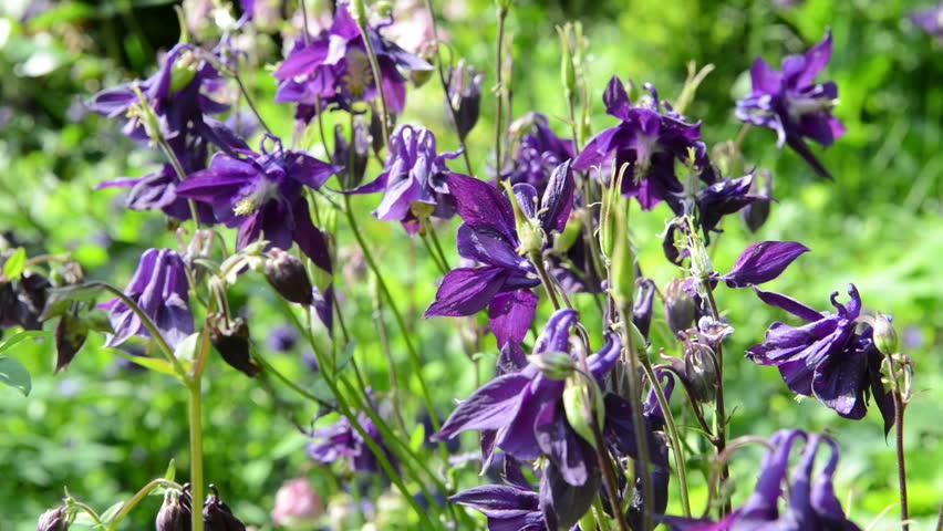 Purple Columbine Flower In Garden Stock Footage Video 100
