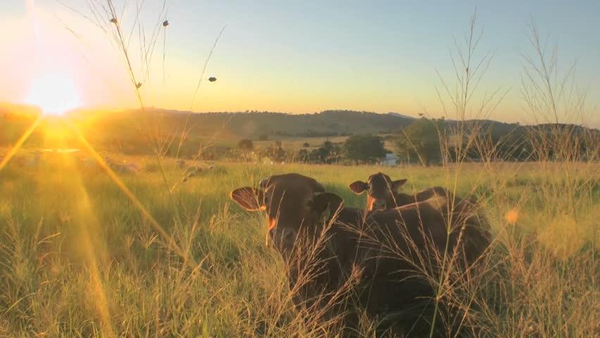 Australia - cows in sunset