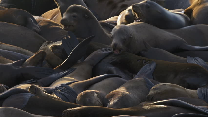 Sea lions relaxing and tussling in a heap in the sun #4317989