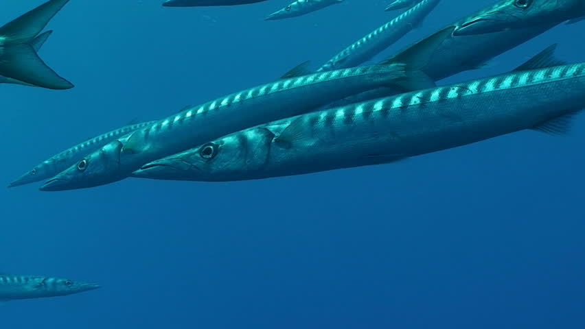 barracudas, mediterranean sea