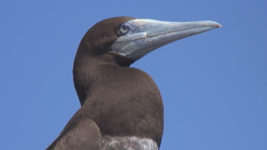 Gannet, red sea | Shutterstock HD Video #4341857