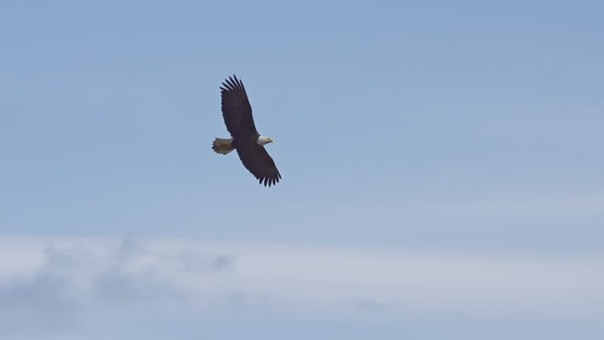 A lone male bald eagle soars above in a bright blue cloudy sky #4353686