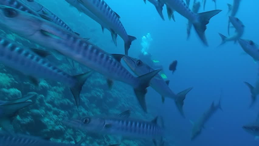 barracuda, red sea